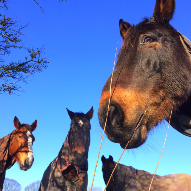"""""""Four Horses in a field looking over the wall in Otley Chevin West Yorkshire"""" stock image"""