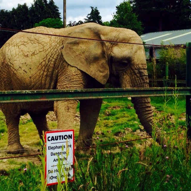 """Elephant at Blair Drummond Safari Park, Scotland 2014"" stock image"