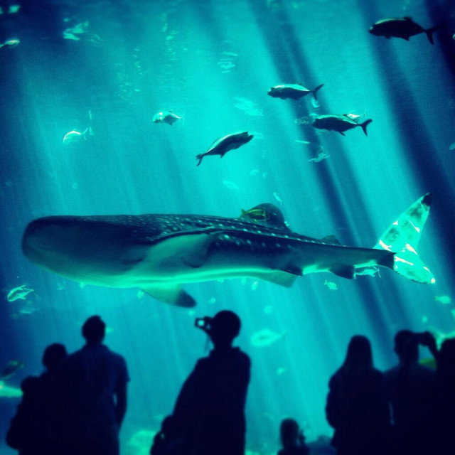 """People watching whale shark in aquarium"" stock image"