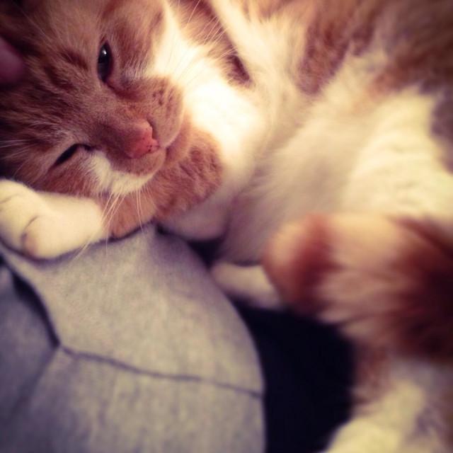 """Ginger cat cuddling"" stock image"