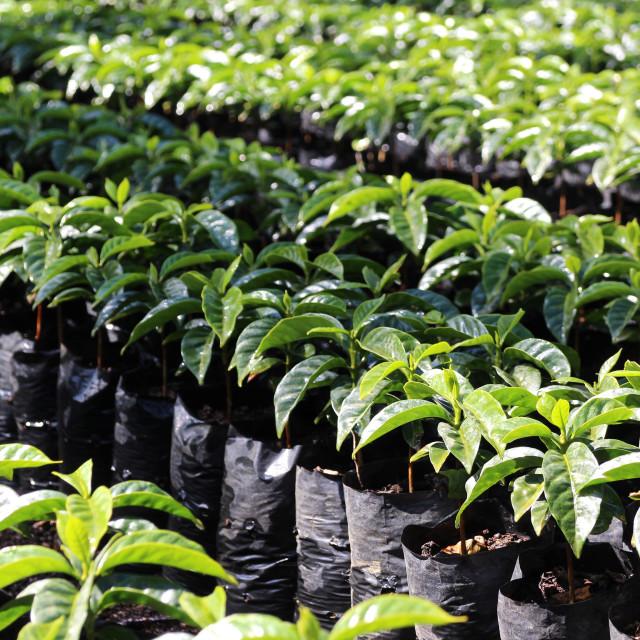 """""""coffee nursery"""" stock image"""