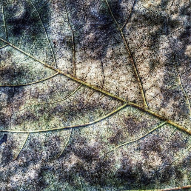 """""""Leaf texture, autumm's vein"""" stock image"""