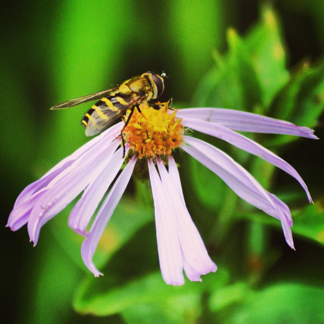 """""""Insect (bee/yellow jacket) on a flower"""" stock image"""