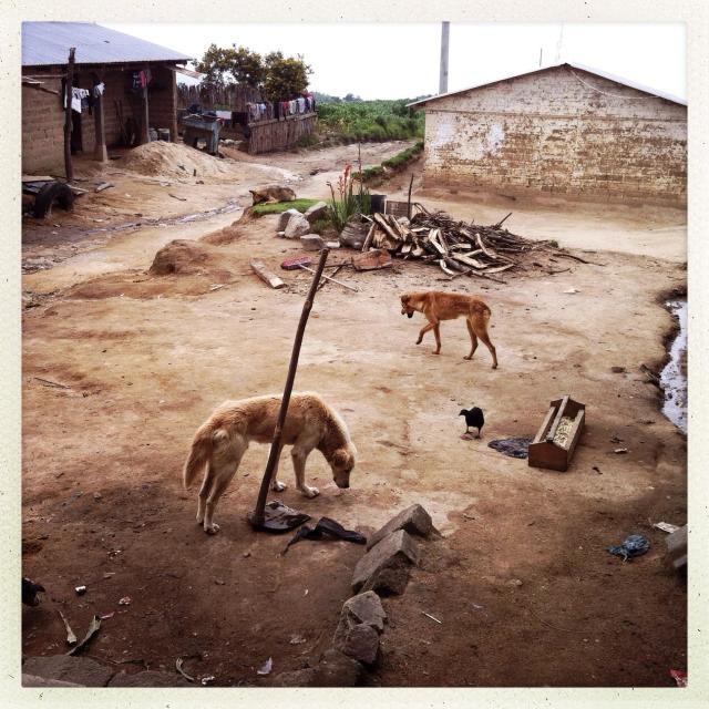 """Dogs in Caserio Panuca, Solola, Guatemala."" stock image"