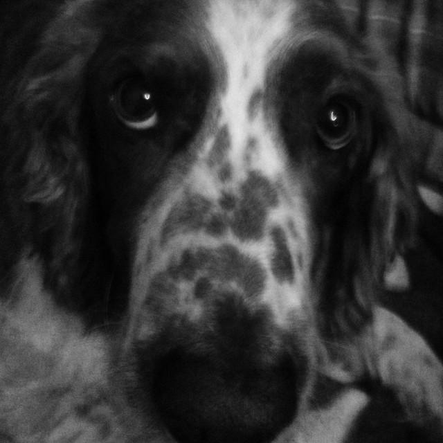 """Welsh springer spaniel dog looking upwards longingly in black and white"" stock image"