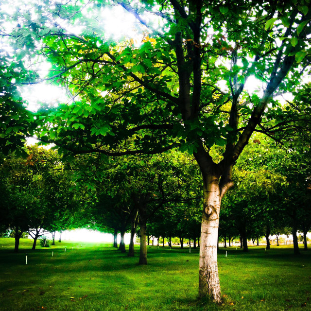 """""""Summer light is shining though the leaves of these precisely aligned trees in an orchard."""" stock image"""