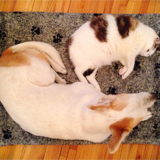 """""""A dog and cat lying down together."""" stock image"""