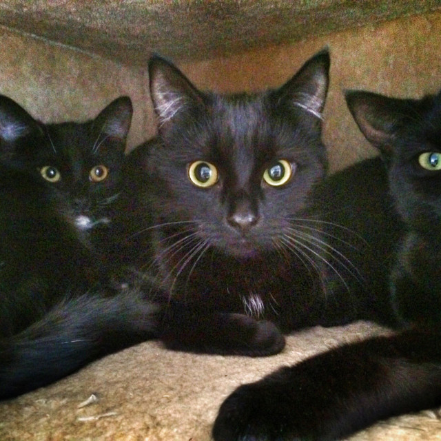 """""""3 black kittens"""" stock image"""