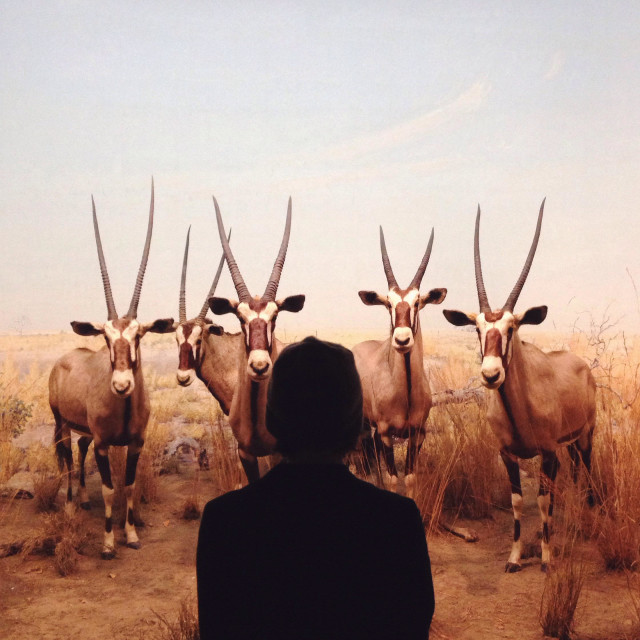 """Young woman looking at a display of Gemsbok (Oryx gazella) at the American Musuem of Natural History in New York City."" stock image"