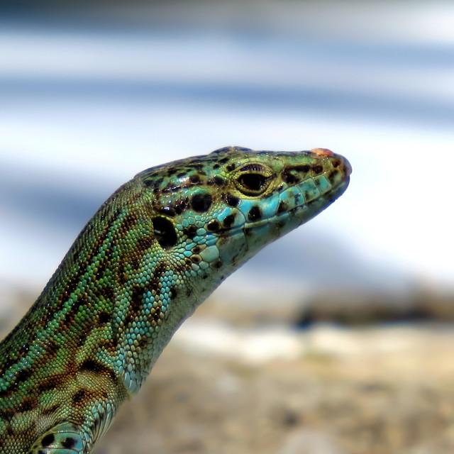 """""""Lizard of Ibiza"""" stock image"""
