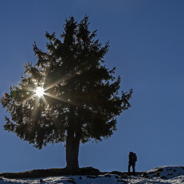 """Spruce in the backlight"" stock image"