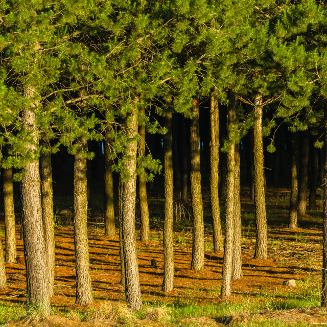 """Forest Pine Trees"" stock image"