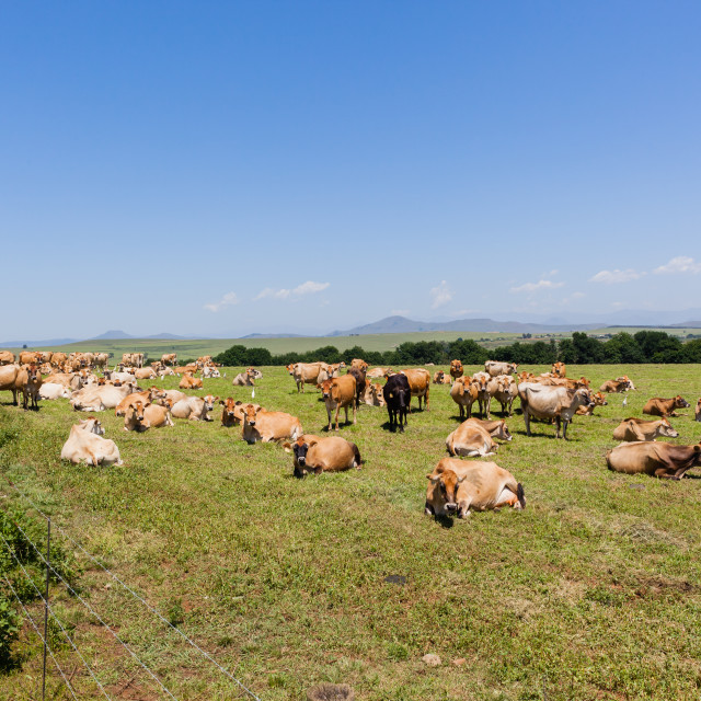 """Dairy Cows Field"" stock image"