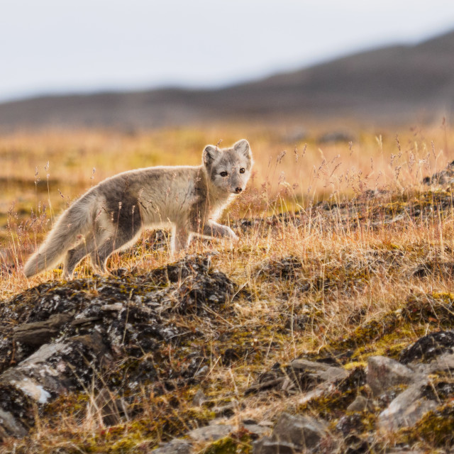 """Arctic Fox"" stock image"