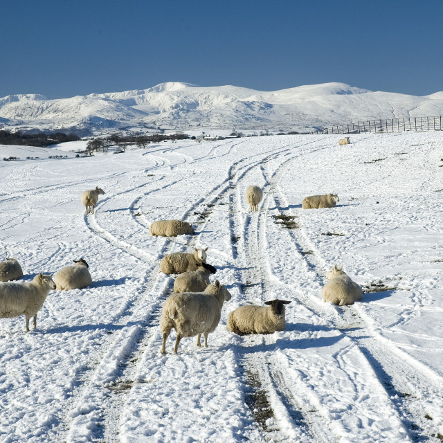 """""""Sheep in a snow covered field"""" stock image"""