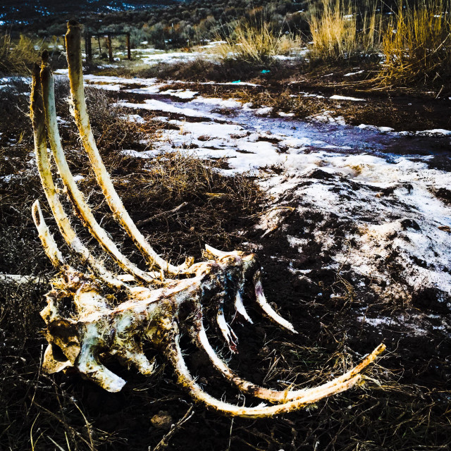 """Deer carcass at the side of a dirt road in the winter."" stock image"
