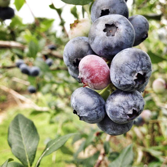"""""""Pick your own blueberries"""" stock image"""
