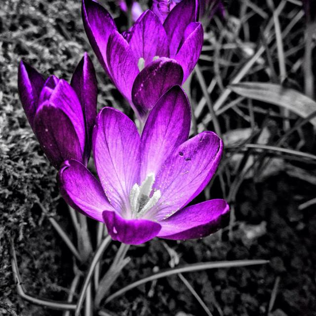 """Colour popped Crocus flowers"" stock image"