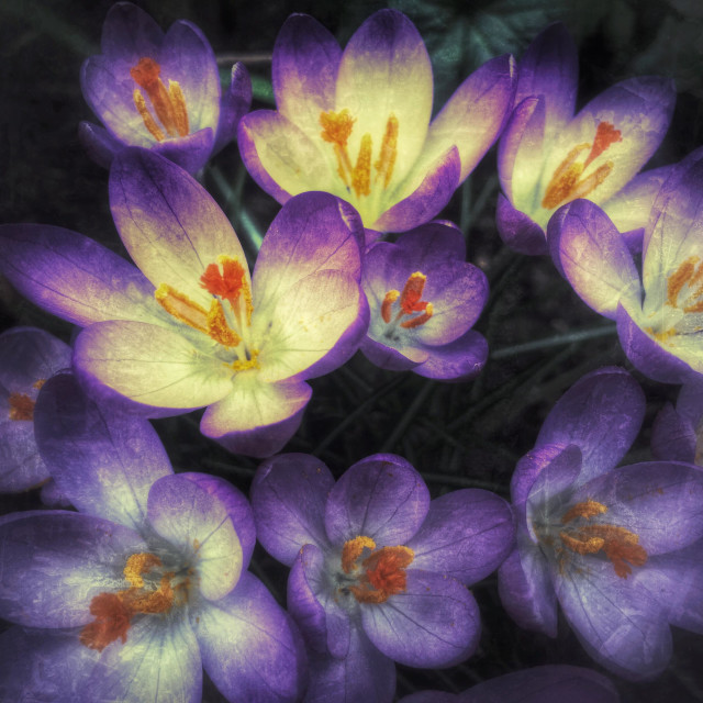 """Spring crocus in bloom"" stock image"