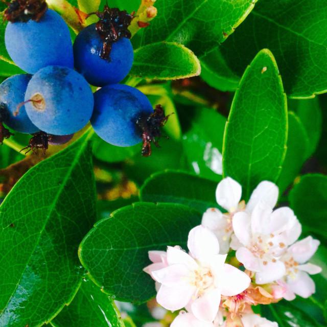 """Blueberries in Bloom"" stock image"