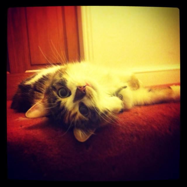 """Coy red carpet cat"" stock image"