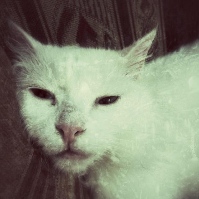"""""""Angora white cat laying her head down sleepy"""" stock image"""