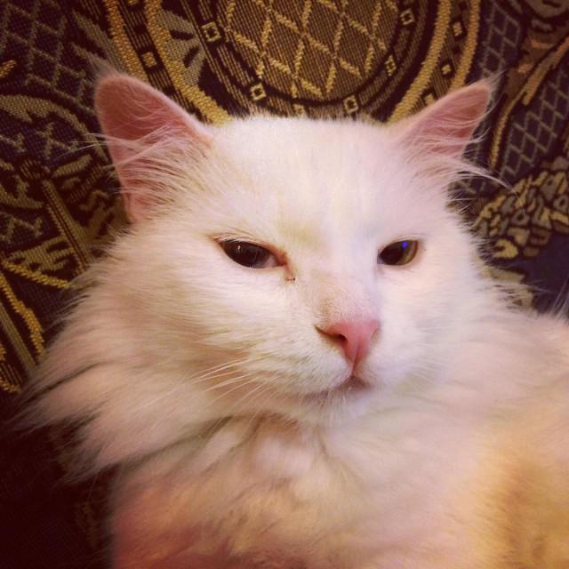 """Angora odd eyed cat - cute white cat"" stock image"