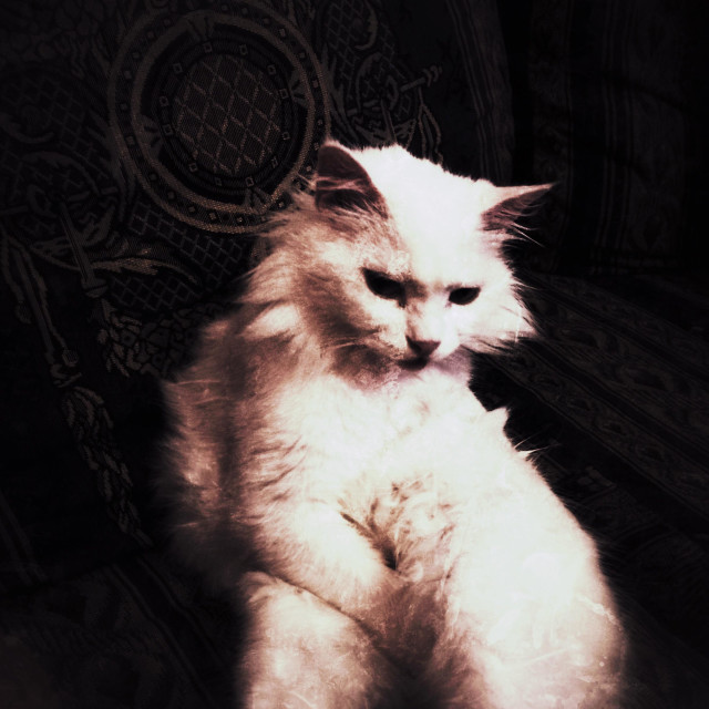 """Angora white cat sitting"" stock image"