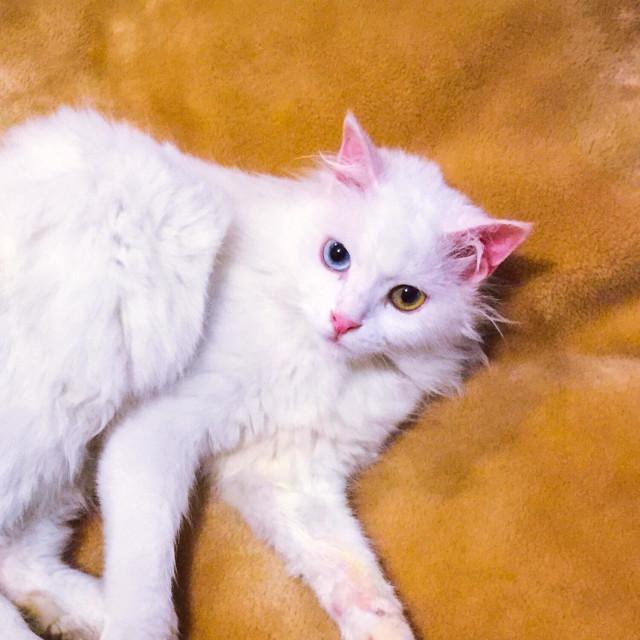 """""""Angora odd eyed white cat"""" stock image"""