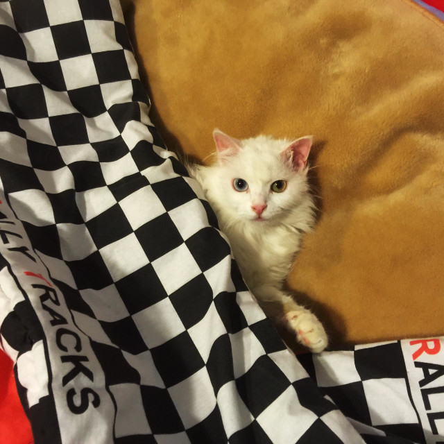 """""""White angora cat in bed covered with race cover - odd eyed"""" stock image"""