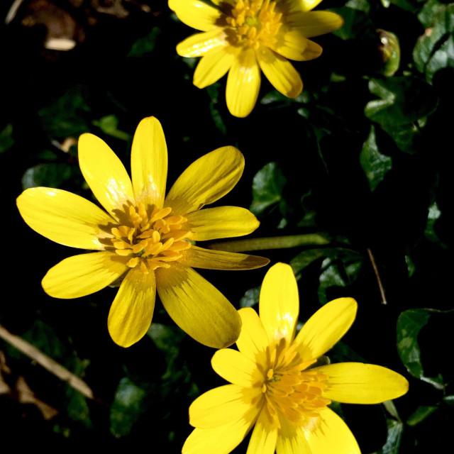 """Celandine flowers"" stock image"