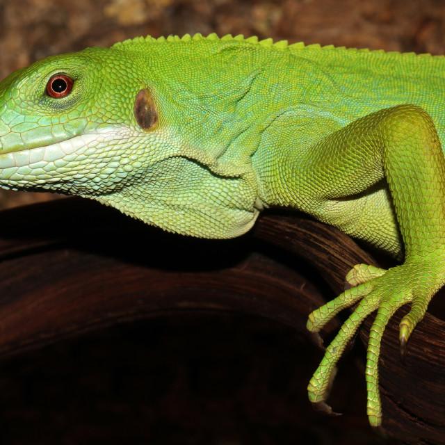"""""""Fiji Banded Iguana"""" stock image"""