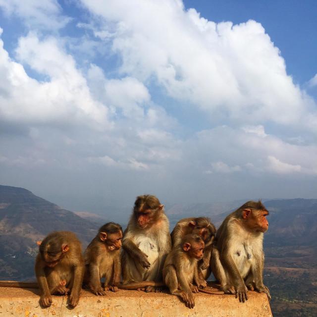 """A family of monkeys"" stock image"