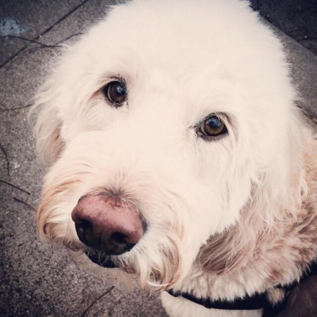 """Golden doodle dog"" stock image"