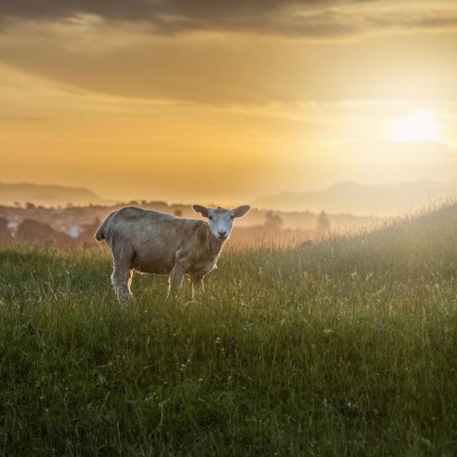 """""""A Sheep at Dusk"""" stock image"""