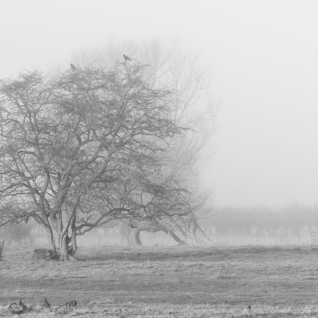 """Twisted Trees in the Mist"" stock image"