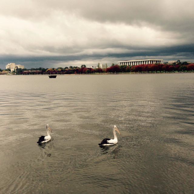"""""""Pelicans on Lake Burley Griffin in Canberra Australia"""" stock image"""