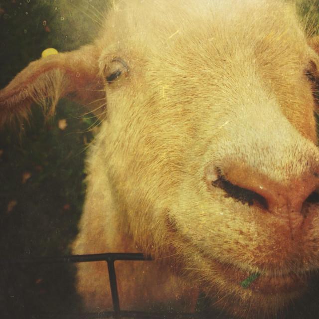 """""""Happy goat"""" stock image"""