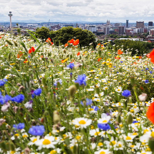"""Widlflowers in front of the Liverpool skyline"" stock image"