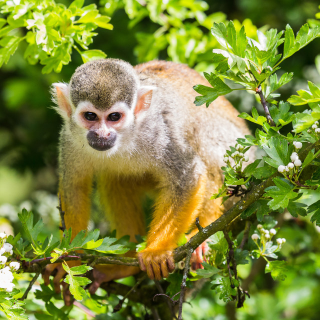 """A Squirrel monkey in a tree"" stock image"