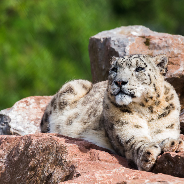 """Snow Leopard in the sun"" stock image"