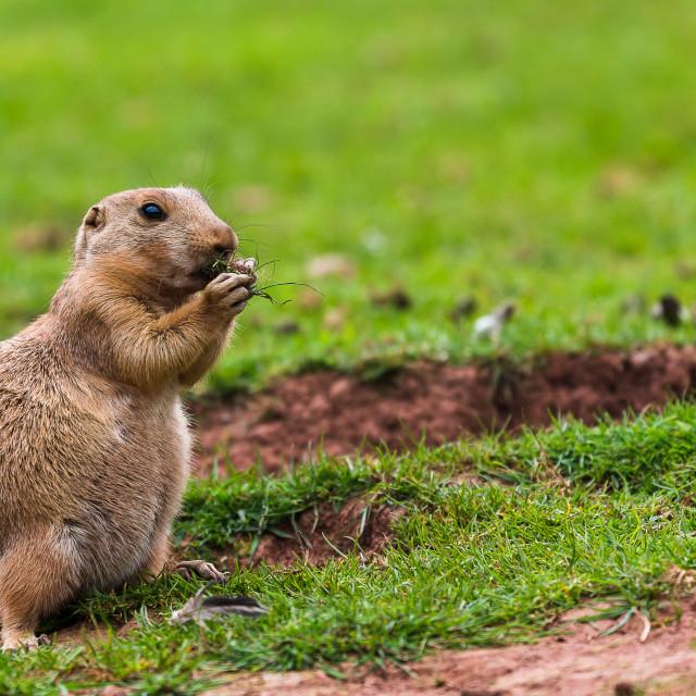 """""""Prairie marmot feeding"""" stock image"""
