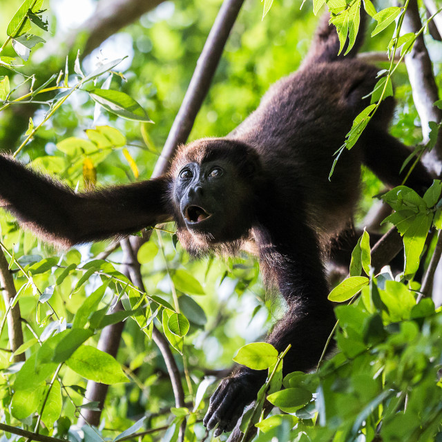 """""""Howler monkey reaching out"""" stock image"""
