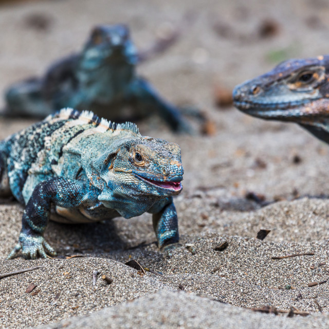 """Trio of black iguanas on the beach"" stock image"