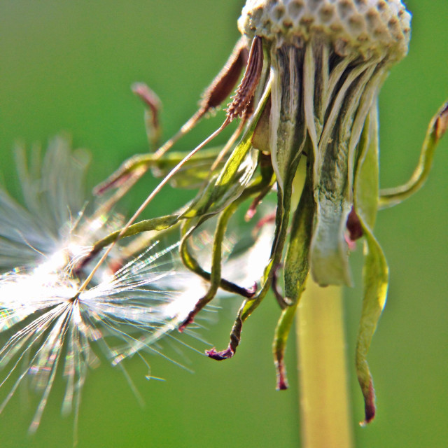 """Dead dandelion close up"" stock image"