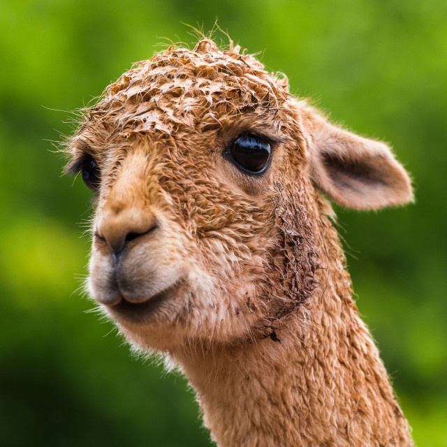 """Headshot of an Alpaca"" stock image"
