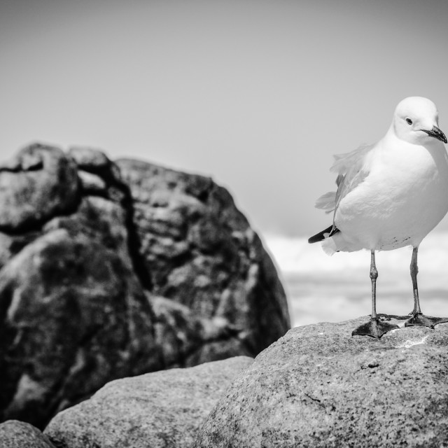 """Seagul waiting for food"" stock image"