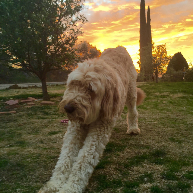 """""""Golden doodle at sunset"""" stock image"""