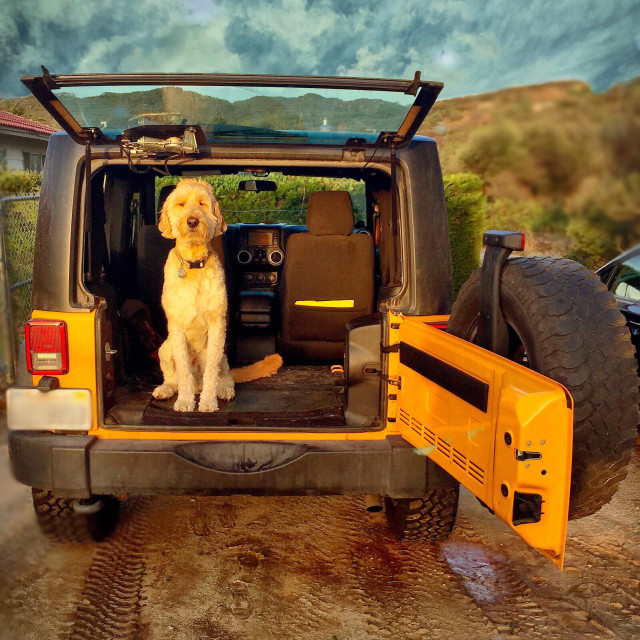 """""""Golden doodle sitting in a Jeep on a spring evening"""" stock image"""