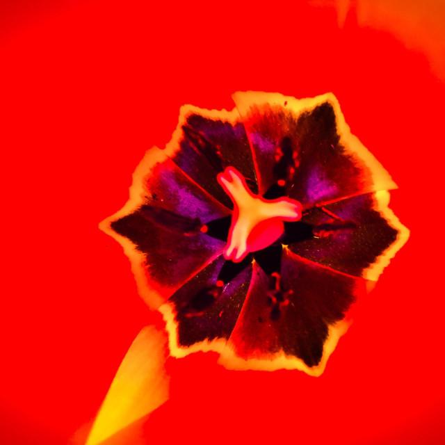 """Tulip impression"" stock image"